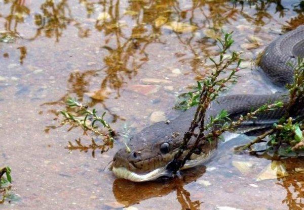 Pytón zaútočil na krokodíla
