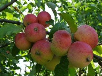 Jablká a jabloň