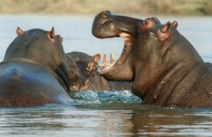 Hroch Afrika, riečny kôň