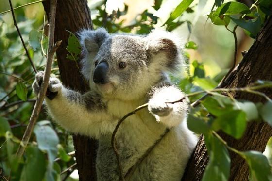 Medvedík koala Austrália
