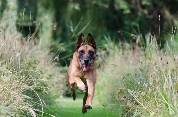 running-dog-662783_1280