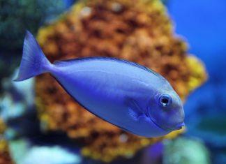 thajsko-ryba