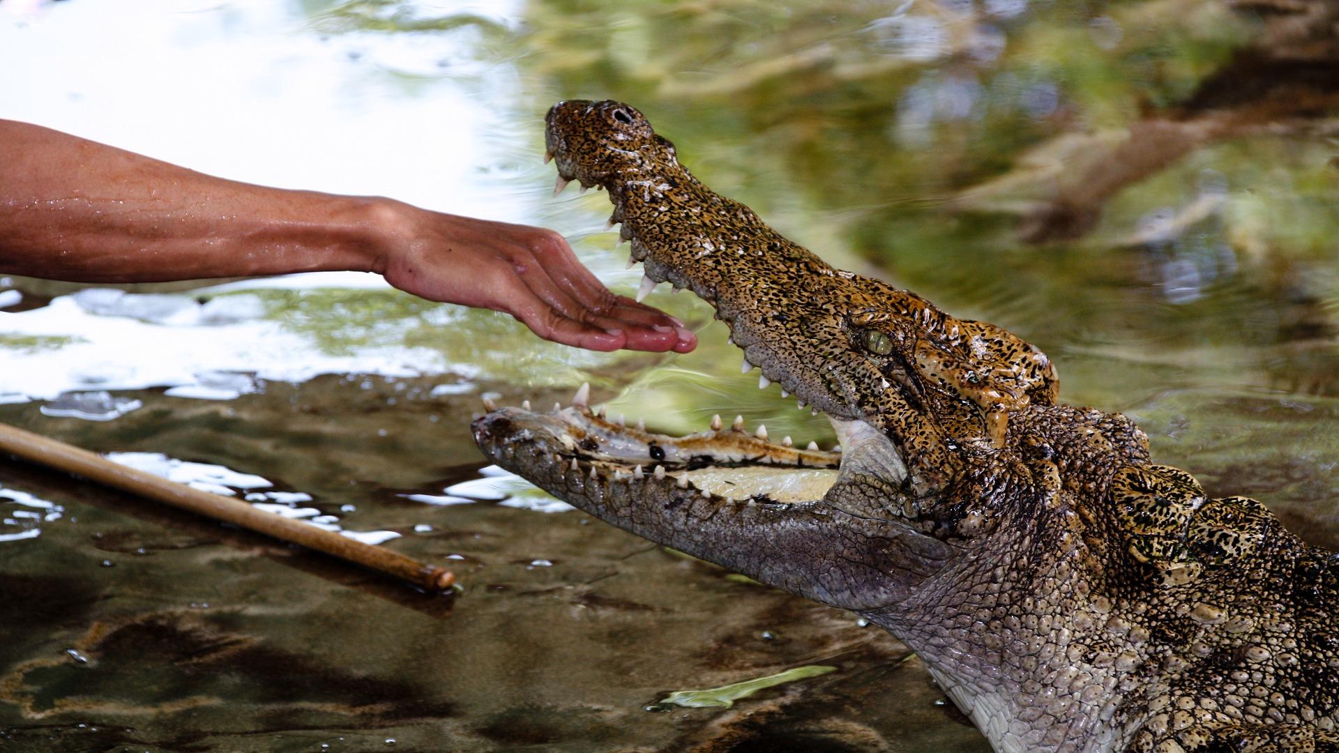 crocodile-1543062_1920