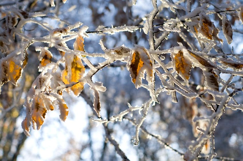 11737899 - colorful leaves of the tree covered with snow in evening forest