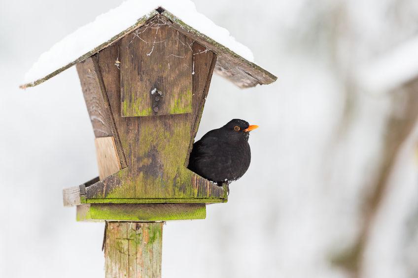 65636002 - bird feeders in the garden with a blackbird in winter
