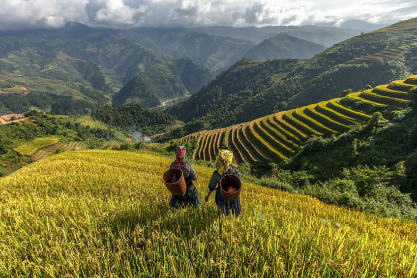 39663553 - farmers in rice fields on terraced of mu cang chai, yenbai, vietnam