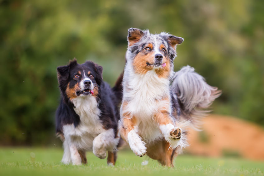 64627275 - picture of two australian shepherd dogs running for a toy