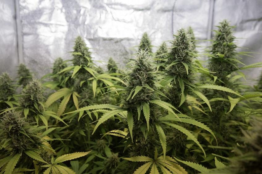 57232718 - indoor cannabis / marihuana plants