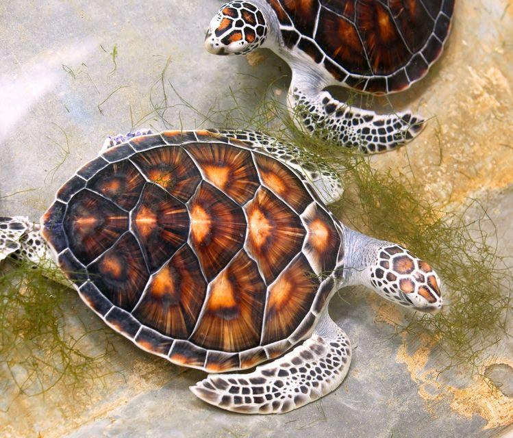 10039415 - sea turtles in nursery, thailand