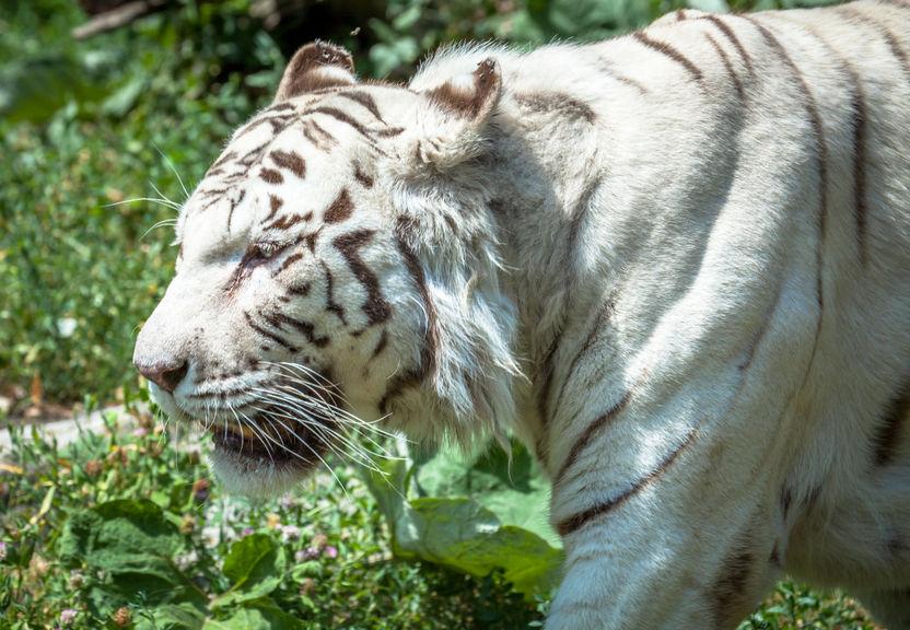 29805526 - white tiger in zoo bratislava,, slovakia