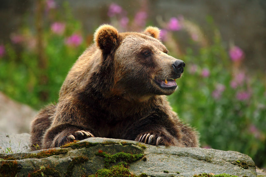 51633245 - portrait of brown bear, sitting on the grey stone, pink flowers at the background, animal in the nature habitat, finland