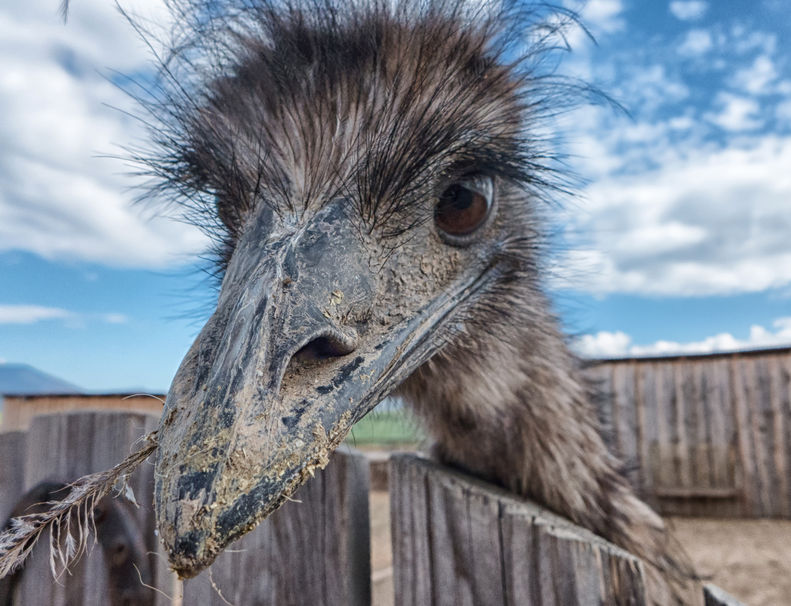 60345311 - curious young ostrich in zoo, slovakia