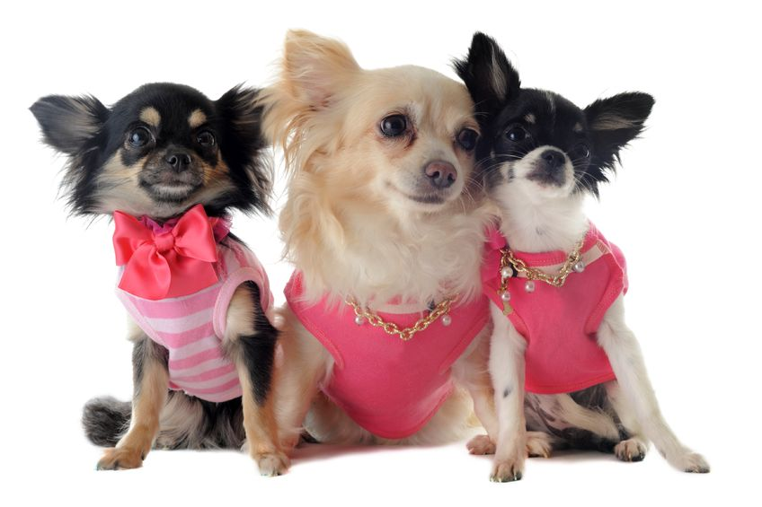 14187645 - group of chihuahua dressed in front of white background