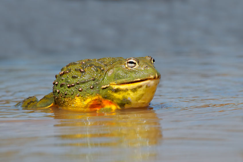 57653210 - male african giant bullfrog (pyxicephalus adspersus) in shallow water, south africa