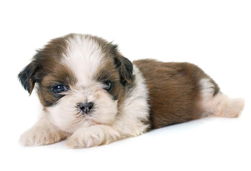 61048961 - puppy shih tzu in front of white background