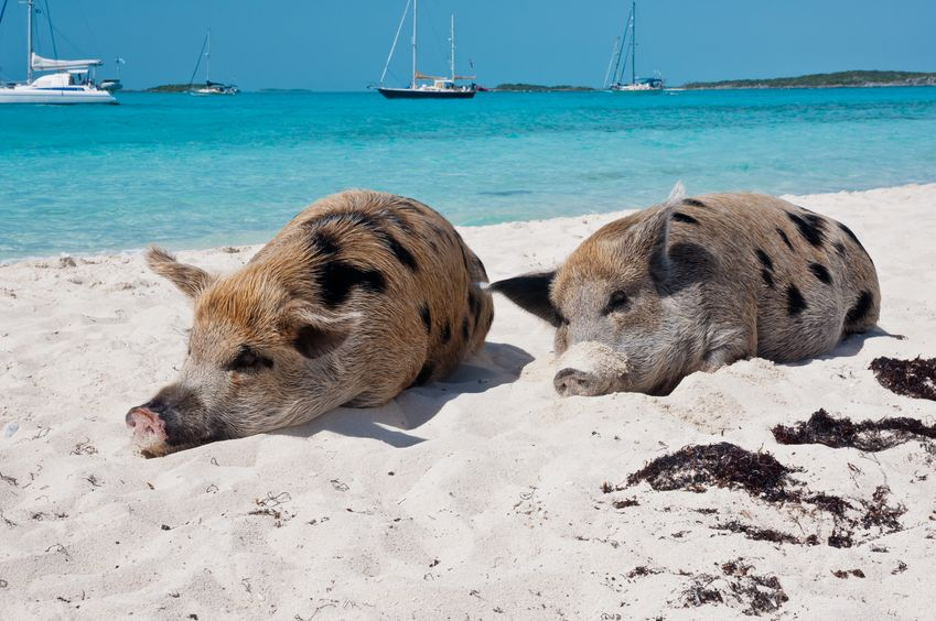 21954743 - wild pigs on big majors island in the bahamas, lounging and walking around in the sand and ocean.