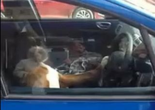 Boxer a klaksón v aute