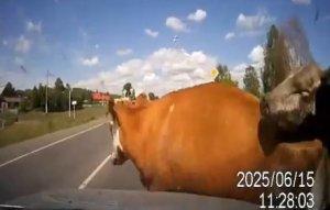 Kravy na ruskej ceste