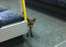 Líška a metro