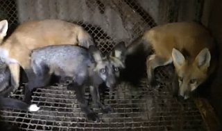 Líšky ako kožušinové zvieratá, ukaztetovlade.cz iniciatíva
