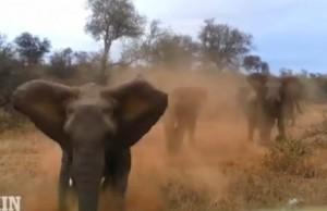 Naštvaný slon v africkom Safari