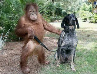 Orangután a pes